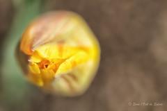 (Sous l'Oeil de Sylvie) Tags: flower macro nature fleur outside pentax bokeh may stgeorges mai qubec pdc tulipe beauce tamron90mm ks2 dehors 2016 macrophotographie profondeurdechamps sousloeildesylvie