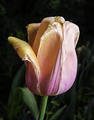 Tulip Color in Duke Gardens (Bill Gracey) Tags: flower color nature fleur colorful durham flor northcarolina tulip naturalbeauty softbox dukegardens darkbackground offcameraflash lastoliteezbox yongnuorf603n yn560iii