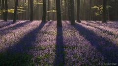 Morning Shadows (Sue MacCallum-Stewart) Tags: flowers trees wild nature bluebells woodland landscape spring woods earlymorning wepham
