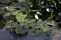 see rosen (fdfotografie) Tags: flora wasser outdoor laub pflanze grn tageslicht dslr teich bltter muster sonnenschein ausschnitt seerose strukturen wasserpflanze farbfoto querformat lichtstimmung selbstorganisation d7100 tiefstehendesonne