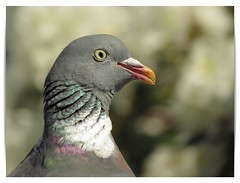 Duif/Pigeon (_BieFeen) Tags: bird nature canon zoom pigeon dove vogel duif sx60hs