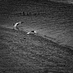 56:2014-littoral_078_4_DxO (Rmi Besserre) Tags: bw france brittany europe bretagne nb breizh squareformat morbihan seabirds oiseauxdemer formatcarr