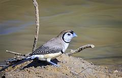 small bird series: a double-barred finch (Fat Burns  (gone bush)) Tags: bird nature fauna outdoors finch australianbird smallbird australianfauna doublebarredfinch taeniopygiabichenovii nikond610 sigma150600mmf563dgoshsmsports