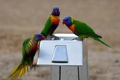 birds 1 (Toni O'Connor2010) Tags: birds rainbow australia lorikeets