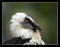 Trencals (Quebrantahuesos) Gypaetus barbatus (antoniocamero21) Tags: color ojo foto retrato sony ave cabeza buitre pirineus plumas quebrantahuesos barbatus gypaetus trencals buseu