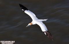 Panned Gannet (Steve Moore-Vale) Tags: bird flying wildlife cliffs motionblur pan northern panning gannet panned morus rspb bempton bassanus stevemoorevale