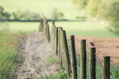 Bird on a Post (jillyspoon) Tags: bird robin canon fence happy countryside farming ripley barbedwire fenceposts hff birdonapost robinonapost fencefriday happyfencefriday canon70d