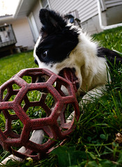Fate 19 wk (Crawford Canines) Tags: summer dog animal puppy puppies play sprinkler tug bordercollie summerfun fetch holleeroller