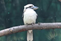 Laughing Kookaburra (psychostretch) Tags: bird animal zoo kingfisher kookaburra woodlandparkzoo dacelonovaeguineae laughingkookaburra