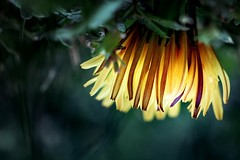 ...happysunday... (ines_maria) Tags: light sun flower color macro nature yellow happy upsidedown sunday dandelion