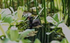 Yesss, I can !! (marionrosengarten) Tags: baby green bird nature water swim pond wasser frankfurt young teich palmengarten blsshuhn blackcoot palmgarden