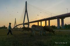 Herdsman (zorrotran) Tags: bridge sunset shadow sky kite grass silhouette yellow cow alone background vietnam hay grassland suspensionbridge flyingkite cantho lateafternoon earlyevening grassfield herdsman