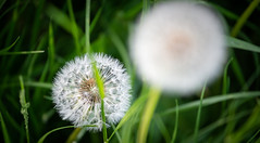 More blow balls ...... (Princessa Pea (more off than on for a while)) Tags: 0324 blowball dandelionclock bokeh