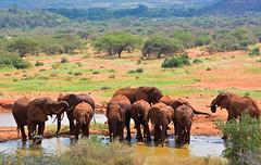 Elephants at waterhole in Tsavo - 6350b+ (teagden) Tags: africa wild elephant nature water photography nikon kenya african wildlife safari elephants waterhole herd tsavo naturephotography kenyasafari africansafari reddirt africanwildlife africasafari wildlifephotography tsavowest elephantherd myhappyplace kenyaafrica tsavokenya kenyawildlife redelephants jenniferhall jenhall africanphotography safarisunday jenhallphotography jenhallwildlifephotography dkgrandsafaris tsavoafrica tsavoelephants
