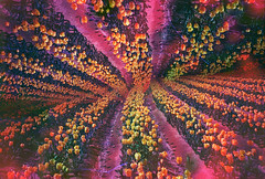 -soup of spring field (Hodaka Yamamoto) Tags: park flower film garden spring lomo lomography doubleexposure double lomolca multipleexposure highland negative tulip filmcamera doubles multiexposure filmphotography filmsoup