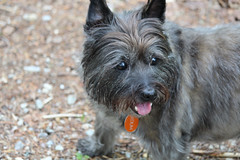 Sedum - 5/24/16 (myvreni) Tags: pets dogs animals spring vermont cairnterriers