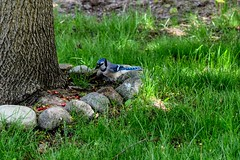 Blue Jay (Dave Hoedel) Tags: blue bird birds animal outdoors nikon scenery jay michigan d3300