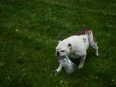(frivolous_accumulation) Tags: panasonic g3 m zuiko 1440mmf28 micro 43 microfourthirds diesel bulldog dog cuteness