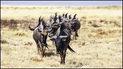 _SG_2016_05_Namibia_0025_IMG_0769 (_SG_) Tags: auto africa park trip elephant tree water car nationalpark wasser solitude desert hole national afrika giraffe ausflug elefant namibia herd baum strauch etosha gnus wildebeest watering wateringhole elefanten 2016 einde giraffen antilopen herde etoshanationalpark standpost wasserstelle etoshapark elefantenherde wildebai giraffenherde giraffesherd