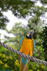 Ara bleu - Ara ararauna - Blue-and-yellow Macaw (TICHAT10) Tags: animaux ara oiseaux guadeloupe basseterre deshaies perroquets jardindecoluche