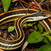 Orange-striped Ribbonsnake (Thamnophis proximus)