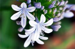 Motif enchevtr (Pensive glance) Tags: plant flower nature fleur plante agapanthus lilyofthenile