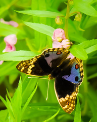 Junonia orithya wallacei (Robert-Ang) Tags: singapore chinesegarden bluepansy junoniaorithyawallacei