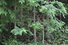 Deer_9449 (Porch Dog) Tags: trees male leaves animal stag kentucky wildlife deer buck whitetail 2016 garywhittington nikon18300mm nikond7000