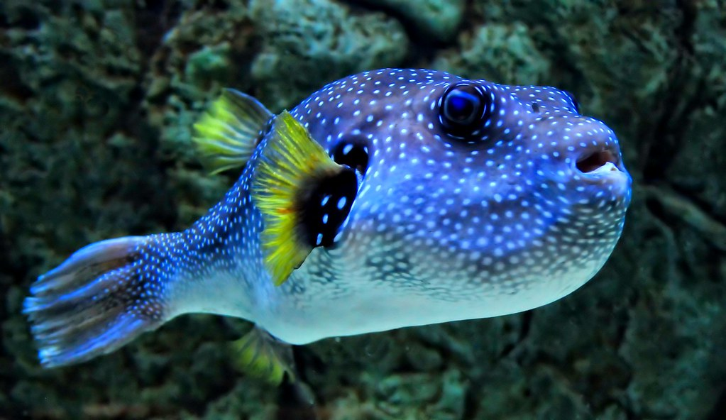 The world 39 s best photos of aquarium and pufferfish for Puffer fish florida