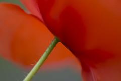 Botom-up (Arjan van Hof) Tags: red flower macro poppy