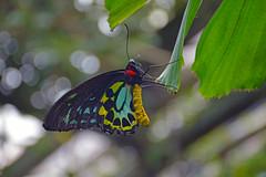 Cairns Birdwing (male) (arda292000) Tags: butterfly butterflies magicwings butterflyconservatory cairnsbirdwing southdeerfieldma ornithopterapriamus