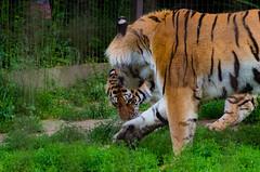 Face off (icanhascamera) Tags: veszprem veszprm hungary zoo pentax k50 animal animals tiger tigers tigress cat cats big ichc