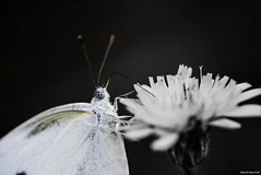 / Pieris rapae (March Hare1145) Tags: butterfly insect
