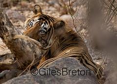 TIG00977GB_1 (giles.breton) Tags: india tiger tigers endangered ranthambhore panthera threatened andyrouse ranthambhorenationalpark pantheratigristigris royalbengaltiger dickysingh