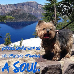 Thats what makes them so special! #yorkiesofinstagram #yorkie... (itsayorkielife) Tags: yorkiememe yorkie yorkshireterrier quote