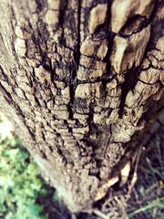 (george.postoronca) Tags: nature tree wood oak outdoors trunk firewood no person