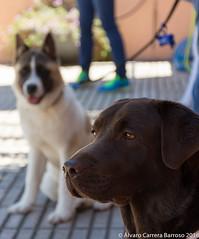 Observador (lvaro Carrera Photo) Tags: cceres mascotas