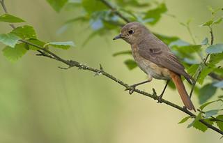 Common Redstart (f)