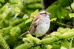 White-throated Sparrow, Bidgood's Park (frank.king2014) Tags: ca canada stjohns whitethroatedsparrow newfoundlandandlabrador