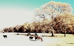 High-Key IR Cows (Neal3K) Tags: trees light sunlight ir cows pasture highkey hikey infraredcamera kolarivisionmodifiedcamera