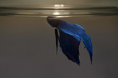 Bubbles (Dragan*) Tags: blue light fish water glass animal aquarium indoor bettasplendens siamesefightingfish