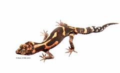 Goniurosaurus kuroiwae orientalis - Ie shima (Okinawa Nature Photography) Tags: goniurosauruskuroiwaeorientaliskuroiwas ground geckookinawa nature photographyie islandryukyu islandsgeckoreptiles amphibians okinawareptiles japannight photography okinawawildlife okinawa herp
