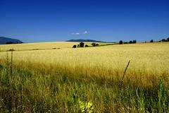 (sevdelinkata) Tags: sky field landscape outdoor sommer wheat bulgaria