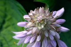 Hosta flower (HansHolt) Tags: flower macro canon petals 300d purple bokeh lila lilac buds hosta canoneos300d paars bloem knoppen bloemblaadjes canonef100mmf28macrousm