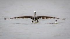 Pilot Bird (gseloff) Tags: galveston bird texas wildlife launch brownpelican westbay laughinggull gseloff