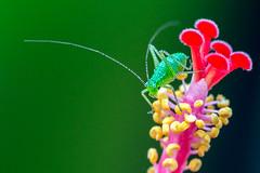 Bush Cricket (sophiaspurgin) Tags: cricket flower stamens anther
