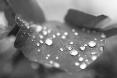 Dew (Xymer89) Tags: white black nature water leaf dew