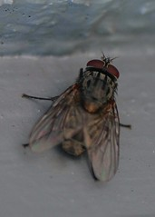 Ugly Red Eyed Fly (robfozney) Tags: red macro eye insect fly redeye