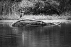 GREAT BLUE HERON (Lisa Plymell) Tags: blackandwhite bird heron nature sigma150500 nikond5300