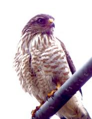 RUPORNIS MAGNIROSTRIS 06 16 (jbmcamisetas) Tags: bird wildlife ave passaro falco planetearth gavio roadsidehawk aguia rupornismagnirostris gaviocarij brazilianbird